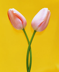 Tulips, Marriage Counseling in Woodbridge VA